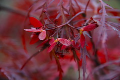 Autumn beauty by the pond! (ineedathis, the older I get, the more fun I have!) Tags: autumn tree nature closeup garden japanese maple bokeh read acer seedpods crimsonqueen nikond80 acerdissectum dwarfjapaneselacemaple