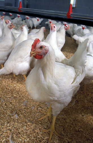 USDA is updating the definitions for poultry classes, such as broiler or roaster, which are based on the sex and age of the bird when harvested.