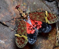 Lantern bug (Phrictus quinqueparitus) (ggallice) Tags: fulgoridae lanternbug lanternfly hemiptera phrictusquinqueparitus laselvabiologicalstation laselva heredia sarapiqui costarica centralamerica ots organizationfortropicalstudies research jungle rainforest