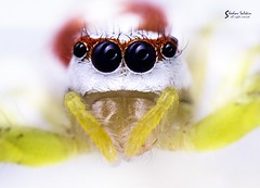 Eyes of a jumping spider (Sheehan Salekin) Tags: life wild orange white green nature yellow female canon spider jumping eyes sp jumper dhaka 1855mm transparent reverse bangladesh median anterior spidy salticidae epocilla