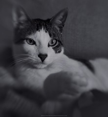 Goodnight kitty! (Pablo  Ronald) Tags: portrait blackandwhite bw blancoynegro monochrome animal cat monocromo kat feline looking retrato kitty bn gato felino kendra mirada gatito canon5dmarkii pabloronald