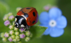 Two tone ladybird! (Twoshoes3) Tags: ladybird