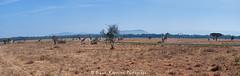 Panorama, Rothschild Giraffes on Airstrip, Kenya (diana_robinson) Tags: giraffe nakuru airstrip lakenakuru dianarobinson nikond700 rothschildgiraffes giraffesonrunway giraffesonairstripkenya