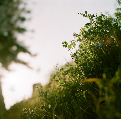 bush vetch
