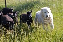 dog sheep odyssey desertweyr hurleylounge