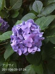 朝散歩(2011/6/29): アジサイ