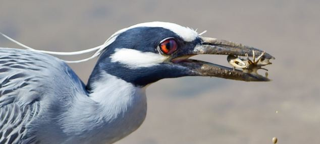 Plucky crab fights for survival after being snatched from the sand by a hungry heron   2