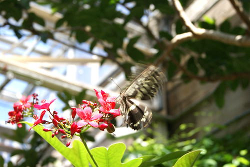 ButterflyPavilion13-butterfly