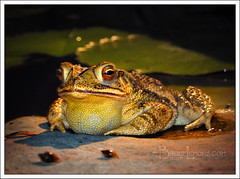 Same Old Pick Up Line Every Time (Bruce Lemons) Tags: pond toad gulfcoasttoad