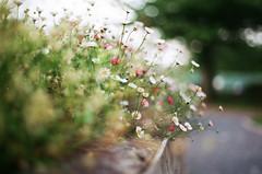 . Summer growth (H a n n a h_) Tags: flowers summer film 35mm soft fuji bokeh olympus om2