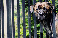 (sommerpfuetze) Tags: portrait dog brown color green beauty animal fence head hund cosmo petrait ldlportraits immerdurchda