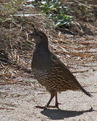 California Quail Photo