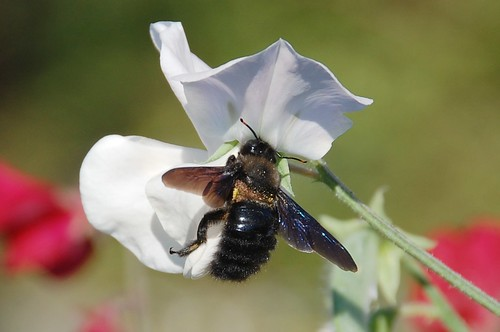 carpenter bee 3rd Oct