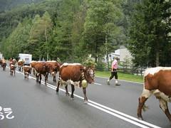 Abtrieb 2011-025 (Das Kleine Salzburger Nationalparkhotel) Tags: sterreich mittersill uttendorf almabtrieb nationalparkhohetauern