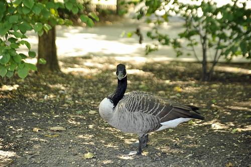 019 goose