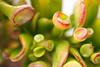 "Crassula cv. ""Gollum"" (Chantal Wagner) Tags: plant planta succulent gollum crassula suculenta canonef100mmf28macrousm"