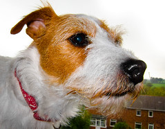 Holly the Jack Russell (CWhatPhotos) Tags: pictures camera dog pet pets white colour cute dogs animal animals shop digital canon hair that jack ginger wire rat jrt paint russell power with shot image little photos walk small picture adorable straw 9 canine run jr images holly powershot wirehaired have terrier adobe jackrussell type pro wired rough breed haired coloured which trot jackrussellterrier ratterrier contain bonny compact called s90 lightroom ratterriers ratter cwhatphotos strawandwhite
