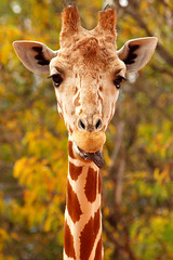 reticulated giraffe (CorkyOrca) Tags: animal animals digital olympus co denverzoo zuiko e30 swd reticulatedgiraffe f2835 devercolorado 500200mm