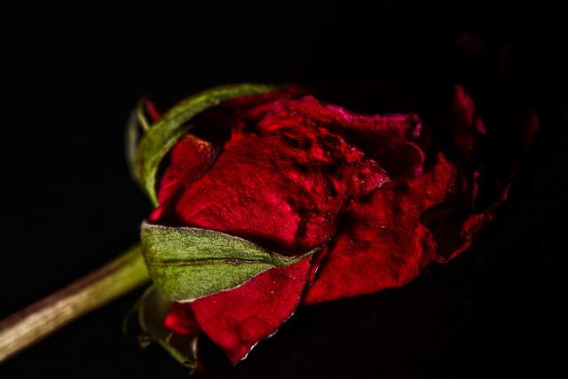 292/365 - October 19, 2011 - Crushed Rose