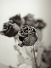 (F. Rima) Tags: flowers sepia dof olympus shallow dried f18 45mm ep1