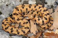 Vipera aspis francisciredi #7, male - pattern 3/4 (Matteo - documentation of snakes) Tags: italy pattern september lombardia 34 redi 2011 livrea trequarti viperaaspis viperaaspisfrancisciredi viperadiredi redisviper