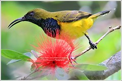 Olive-backed Sunbird (Ericbronson's Photography) Tags: bird nature interesting singapore wildlife olivebackedsunbird wow5 ericbronson mygearandme mygearandmepremium mygearandmebronze mygearandmesilver mygearandmegold mygearandmeplatinum musictomyeyeslevel1