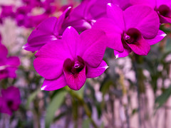Kimilsungia orchid (Rita Willaert) Tags: flowers northkorea pyongyang noordkorea kimilsungia kimilsungiakimjongiliaexhibitionhall