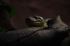 (Olaya Garcia) Tags: barcelona canon eos zoo snake culebra serpiente zoologico zoobarcelona 1000d zoologicobarcelona