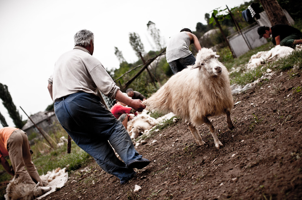 Schafscherung