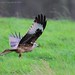Argaty Red Kite1