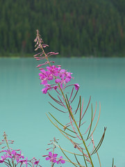 Flowers And Lake Louise; Banff National Park, Alberta (hogophotoNY) Tags: flowers lake canada green olympus louise alberta banff lakelouise e1 albertacanada 2007 banffnationalpark chateaulakelouise banffalberta fourthirds olympuse1 canadiannationalpark august2007 lakelouisecanada canadanationalpark hogo famouslake hogophoto
