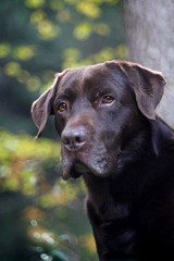 "mr. ""intelligent looking"" (bruno), wishes EveryOne of You a nice weekend. and we say thank You, EveryOne. (dapalmerpeter (slow & low)) Tags: autumn dog forest labrador bokeh chocolate retriever 100 meyer troplan dapalmerpeter highqualitydogs highqualityanimals"