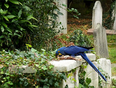 Parrot on Brompton Cemetery (oxfordian.world) Tags: uk greatbritain england friedhof london cemetery parrot papagei brompton bromptoncemetery royalboroughofkensingtonandchelsea oxfordian oxfordianworld oxfordiankissuth