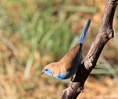 Blue Waxbill (Uraeginthus angolensis) (ruslou (More off than on)) Tags: nature southafrica bluewaxbill uraeginthusangolensis bluebreastedcordonbleu warmbaths gewoneblousysie ruslou belabela zwartkloofprivategamereserve southernbluewaxbill