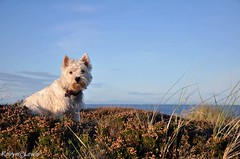 Findhorn, Scotland (Foxy Robyn) Tags: uk sea dog pet white cute green beach wet water grass animal female pose fun outside happy scotland sand looking heather westie young terrier bitch alert westhighlandterrier pedigree findhorn purebred wht nikond90 robynlewisphotography