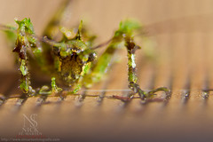 Microcosm (Nick St. Marten Photography) Tags: wild detail nature beauty st canon out insect photography 50mm spider photo moss focus colombia photographer natural bokeh web flash nick cricket photograph micro maco f18 marten blast cosmos antioquia microcosm cosm macrocosm stmarten guarne bluss