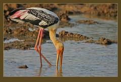 Painted Stork (Mycteria leucocephala) (Rainbirder) Tags: ngc npc srilanka paintedstork mycterialeucocephala rainbirder