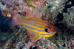 Yellowstripe Cardinalfish (PacificKlaus) Tags: bali fish indonesia underwater scuba diving marinelife gilimanuk perciformes fishbase apogonidae apogoncyanosoma yellowstripecardinalfish