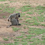 "Vervet Monkey with Baby <a style=""margin-left:10px; font-size:0.8em;"" href=""http://www.flickr.com/photos/14315427@N00/6347200732/"" target=""_blank"">@flickr</a>"