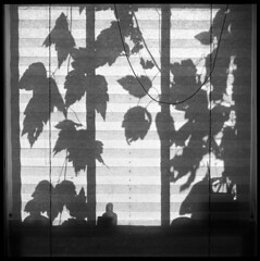 Clematis Shadow (Voxphoto) Tags: blackandwhite bw 6x6 tlr minolta trix annarbor 400tx sq windowshade autocord casavox