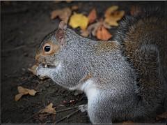 GREY SQUIRREL (Shaun's Nature and Wildlife Images....) Tags: wildlife shaund