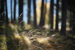 more black trees (dapalmerpeter (slow & low)) Tags: autumn trees grass zeiss colours shadows bokeh meadow carl 75 biotar dapalmerpeter