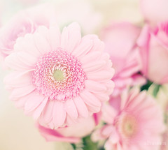 ([asma photographer]) Tags: pink flower cute canon 7d 450