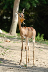 Southern Gerenuk at Wild Animal Park in Escondido-06 2-24-09