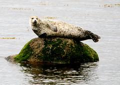 Common Seal - Cromarty Firth (Ally.Kemp) Tags: highlands scottish seal seals common cromarty firth rossshire evanton foulis ardullie