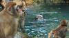 일본원숭이 몽키스파 (에버랜드 (withEverland)) Tags: 대한민국 에버랜드 겨울 사육사 동물원 용인 사자 놀이공원 알락꼬리여우원숭이 황금원숭이 코아티 검진 겨울나기