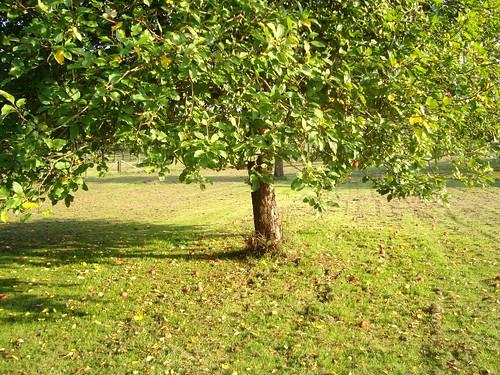 苹果Tree
