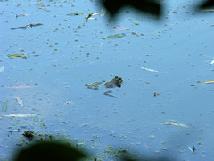 Frog legs (jere7my) Tags: cemetery graveyard pond floating amphibian frog froglegs comfy bullfrog mountauburncemetery splayed