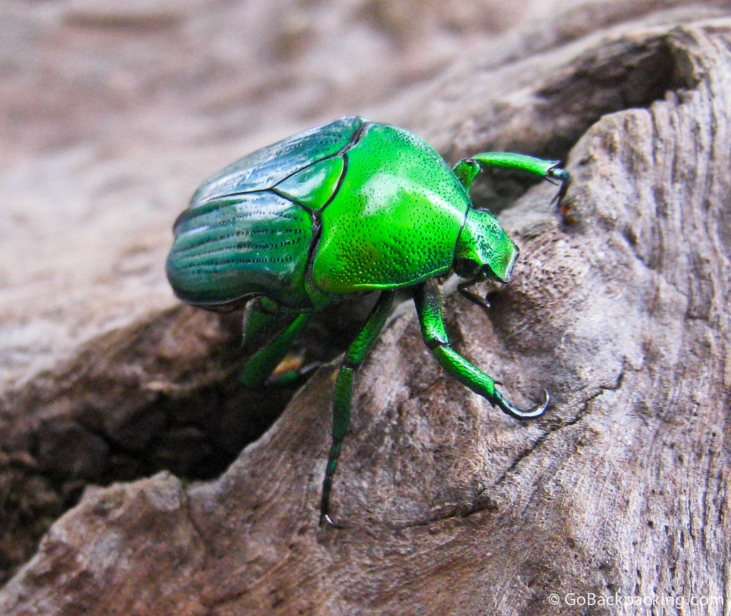 Green beetle in Thailand