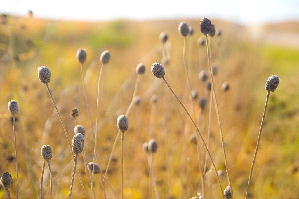 seedheads  606